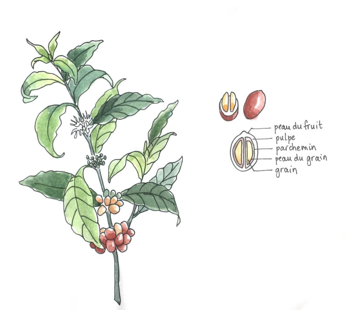Vidéo aquarelle sur mesure café et plante